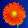 Orange%20Daisy